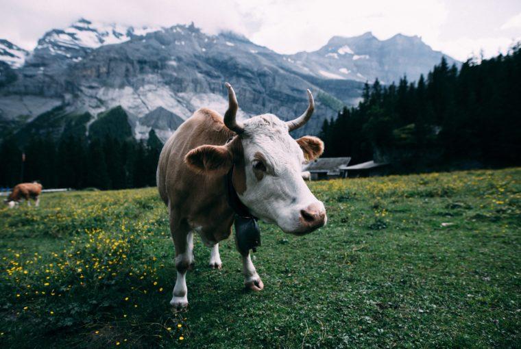 Landleben, Österreich, früher, heute, Kühe